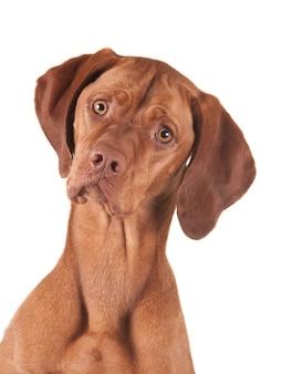 Retrato de um cão magyar vizsla olhando para a câmera.