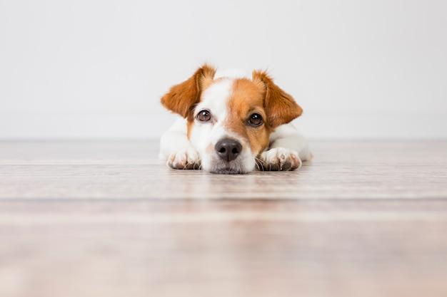 Retrato de um cão pequeno bonito, deitado no chão. sentindo-se cansado ou entediado. animais de estimação dentro de casa, casa, estilo de vida.