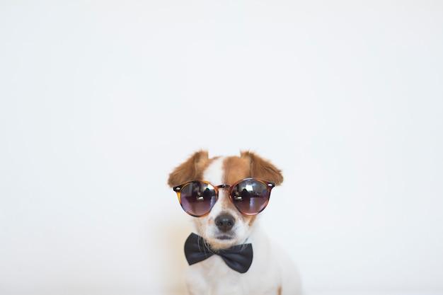 Retrato de um cão pequeno bonito usando óculos de sol modernos e uma gravata borboleta preta. dentro de casa. amor pelo conceito de animais