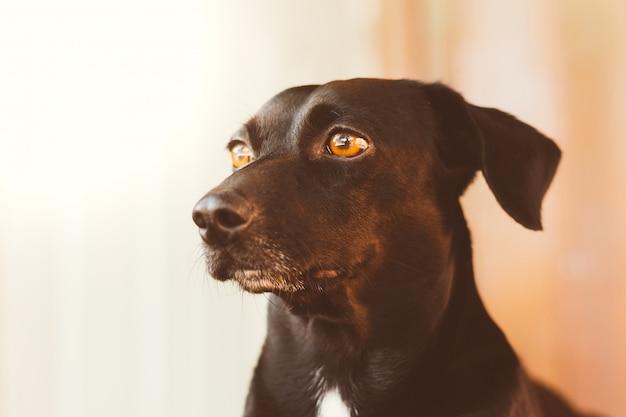Retrato de um cão preto lindo e amável. fundo desfocado. foto do perfil