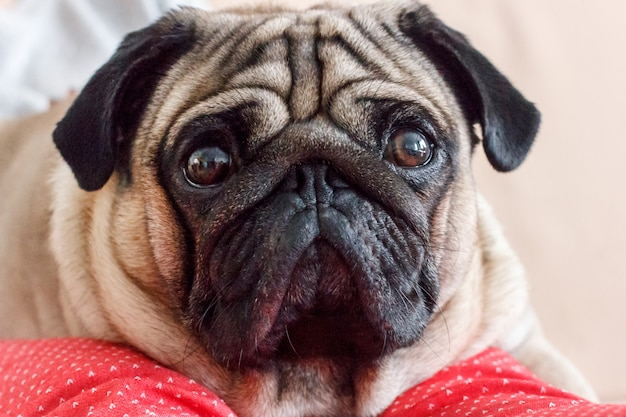Retrato de um cão pug com olhos grandes