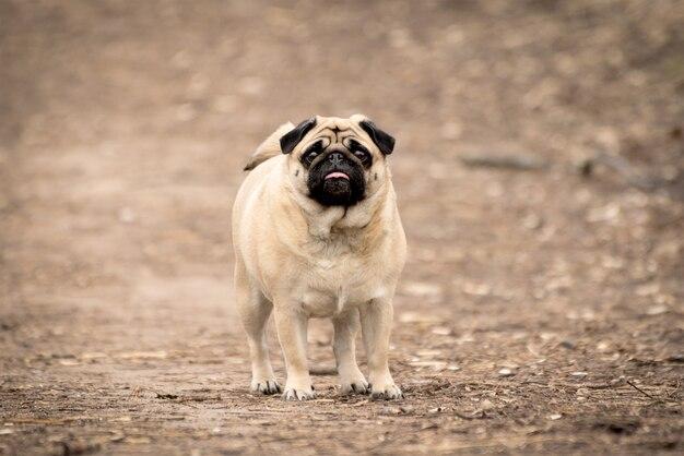 Retrato de um cão pug fofo e fofo fawn