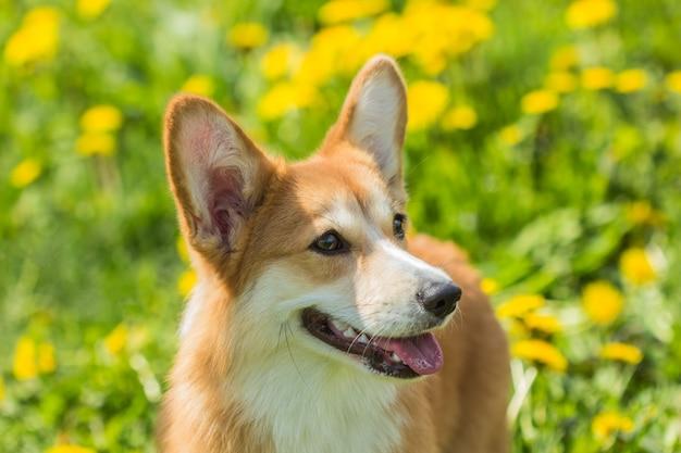 Retrato, de, um, cão, raça galês, corgi, ligado, a, fundo, campo