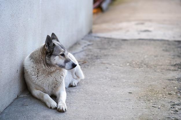 Retrato de um cão raça siberian ocidental laika sentado ao ar livre em um quintal.