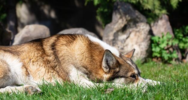 Retrato de um cão ronco deitado na grama.