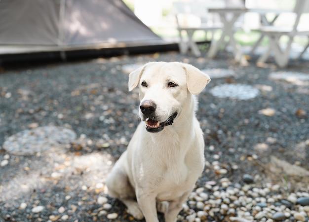Retrato de um cão tailandês branco fofo sentado no jardim de acampamento no chão de pedra, animal de estimação amigável