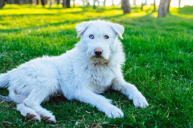 Retrato de um cão vadio fofo branco com um chip na orelha e com heterocromia. persiga o descanso e o encontro na grama verde no parque. heterocromia animal