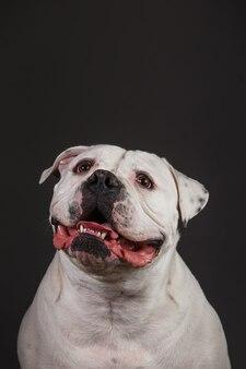 Retrato de um cão valentão animado em um cinza escuro