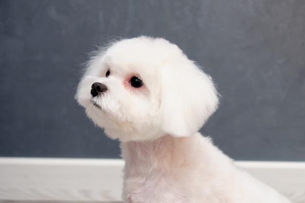 Retrato de um cãozinho de estimação maltês em close-up o