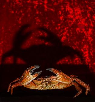 Retrato, de, um, carangueijo, ligado, experiência vermelha
