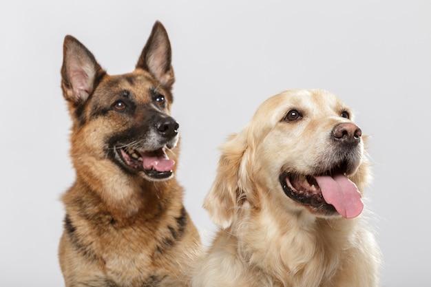Retrato de um casal de cães expressivos, um cão pastor alemão e um cão golden retriever contra um fundo branco
