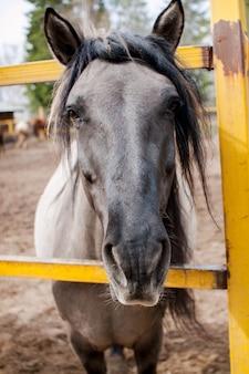 Retrato de um cavalo bonito que pede comida aos visitantes dos estábulos