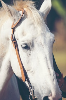 Retrato, de, um, cavalo branco, em, fazenda
