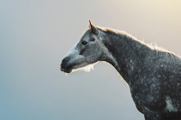 Retrato de um cavalo cinza em maçãs em um fundo de montanhas