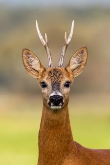 Retrato de um cervo de ovas, capreolus capreolus, fanfarrão no verão.