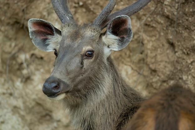 Retrato de um cervo sambar