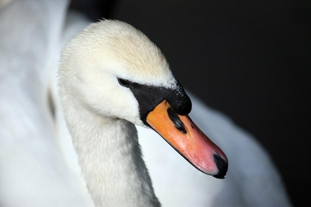 Retrato de um cisne branco