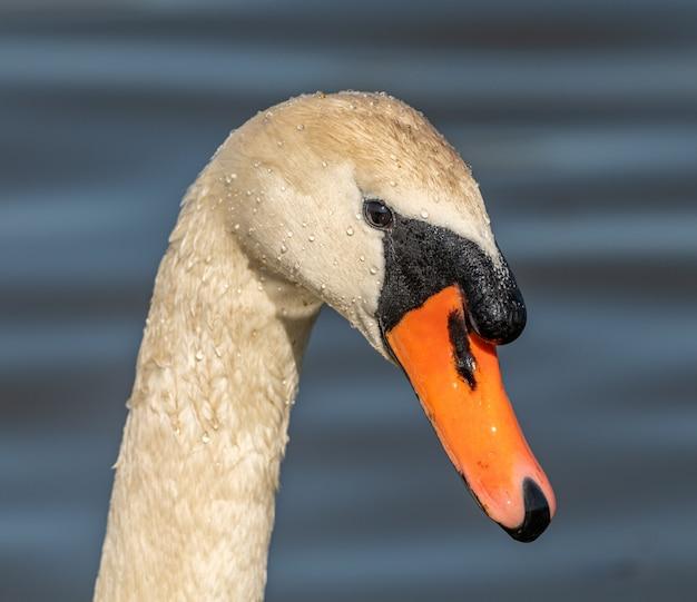 Retrato de um cisne na natureza