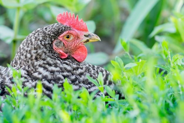 Retrato de um close-up de plymutrock de frango manchado em um fundo de grama verde