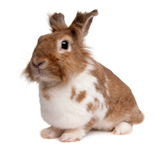 Retrato de um coelho europeu, oryctolagus cuniculus, sentado