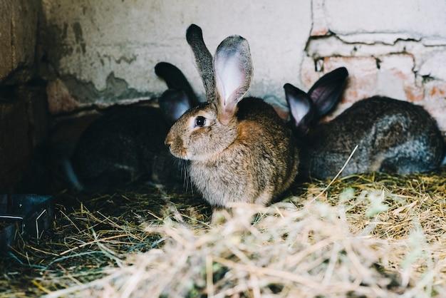 Retrato, de, um, coelho, ligado, a, capim