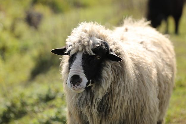 Retrato de um cordeiro da primavera. agricultura caipira, agricultura sustentável. cordeiro no campo. foco seletivo.