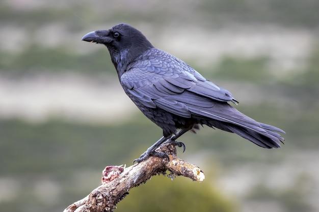 Retrato de um corvo americano