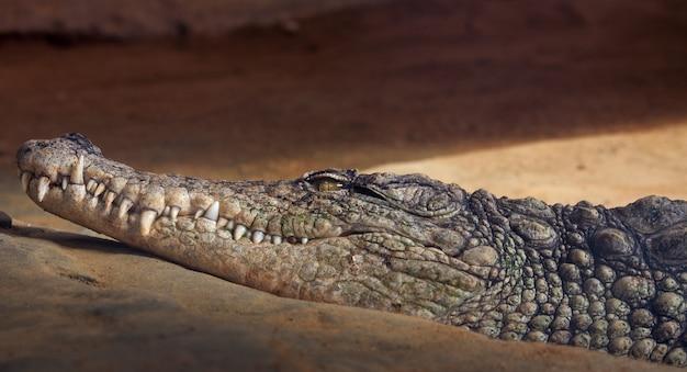 Retrato de um crocodilo descansando na areia