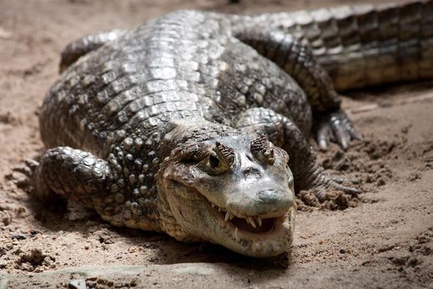 Retrato de um crocodilo em um reptilário