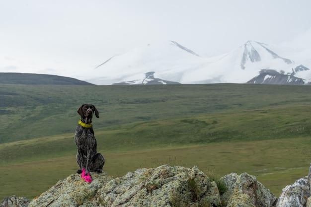 Retrato de um drathaar alemão em uma paisagem montanhosa