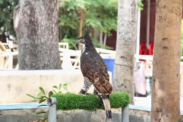 Retrato de um falcão, olhar de lado ou falcão tailandês, foco seletivo.