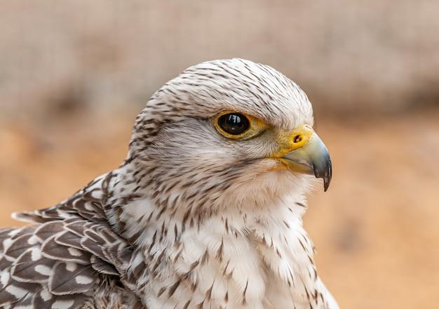 Retrato de um falcão
