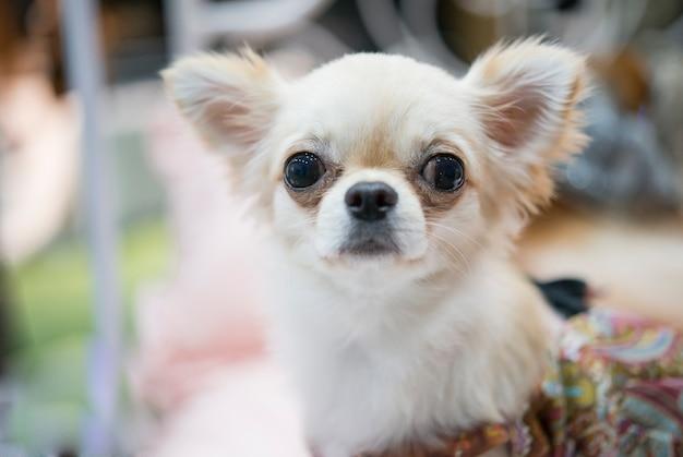Retrato de um filhote de cachorro adorável chihuahua olhando em uma câmera. bonito luz marrom cachorro chihuahua sentado na sala de estar