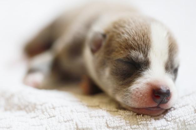 Retrato de um filhote de cachorro bonito bebê recém-nascido dormindo sono na toalha branca, lindo animal de estimação bonito na casa humana