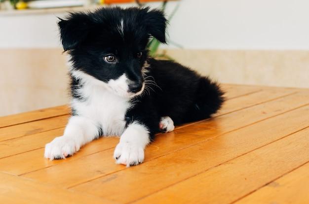 Retrato de um filhote de cachorro border collie. filhote de cachorro de 2 meses.
