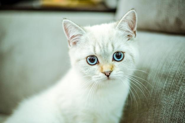 Retrato de um gatinho britânico fofo com olhos azuis em um fundo cinza