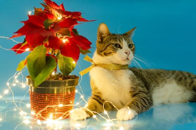 Retrato de um gatinho fofo ao lado do vaso com poinsétia e luzes de natal. fundo azul