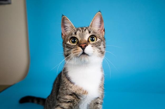 Retrato de um gatinho fofo listrado cinza e branco sentado no azul