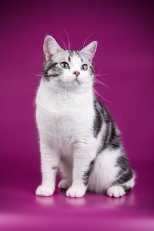 Retrato de um gato americano de pelo curto em parede colorida