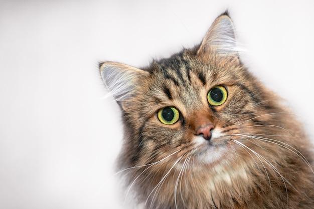 Retrato de um gato bonito, listrado em um fundo claro.