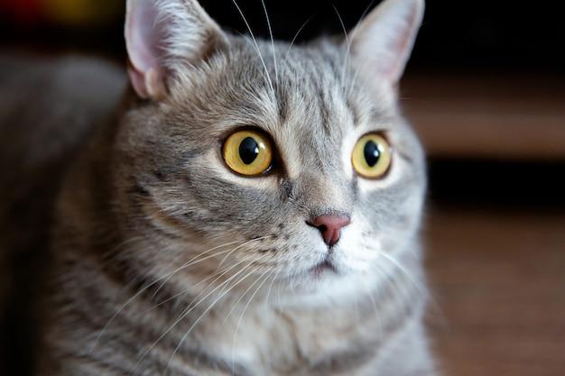 Retrato de um gato britânico gordo com olhos grandes olhando para o lado Foto Premium