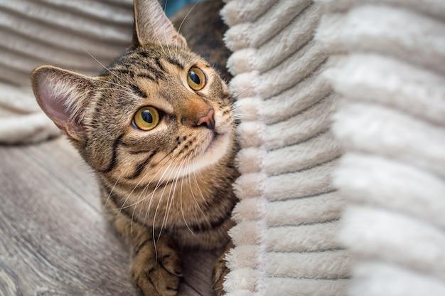 Retrato de um gato cinza com close-up de olhos amarelos. raça de gato de bengala