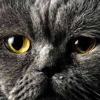 Retrato de um gato cinza macho de cabelo curto britânico com olhos laranja muito perto