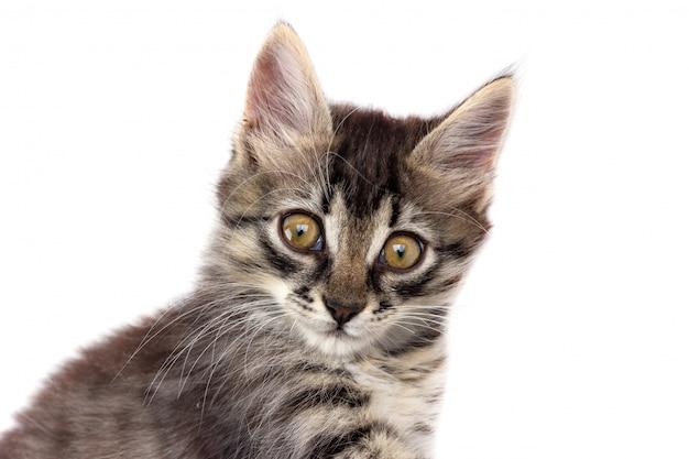 Retrato de um gato cinzento bonito isolado no branco