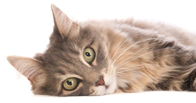 Retrato de um gato cinzento deitado, olhando para a câmera. em branco.