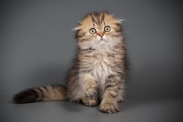 Retrato de um gato de pêlo comprido scottish fold em parede colorida