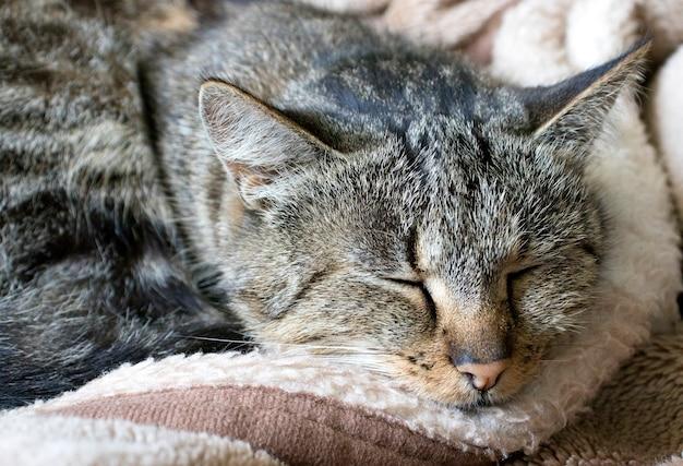Retrato de um gato doméstico bem cuidado dormindo