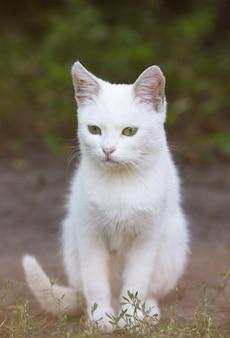 Retrato de um gato doméstico de cor branca com olhos grandes. gato branco com um nariz rosa. raça russa branca de gatos.