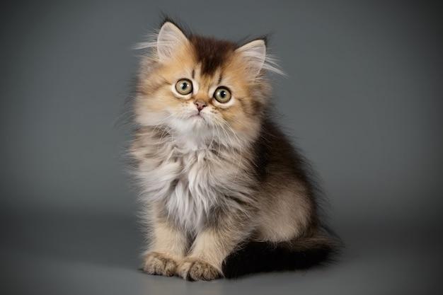 Retrato de um gato escocês de pêlo comprido reto na parede colorida