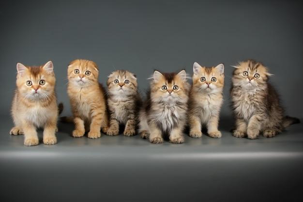 Retrato de um gato escocês na parede colorida
